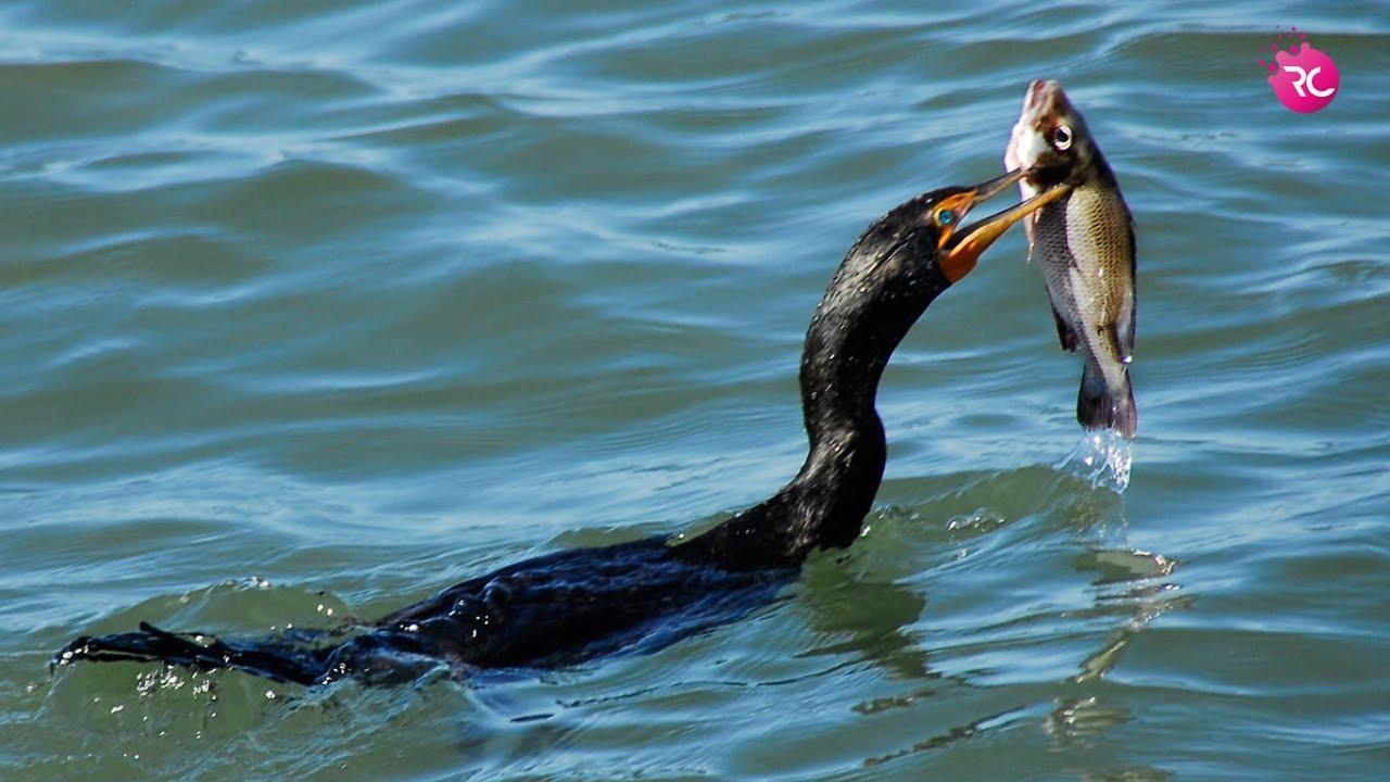 Cormorant & Heron Eating Fish, Float the Fish - পানকৌড়ি ...