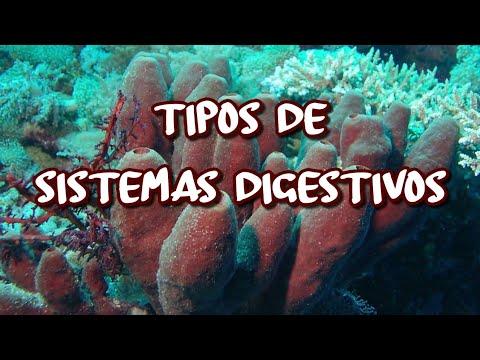 Tipos de sistemas digestivos - YouTube