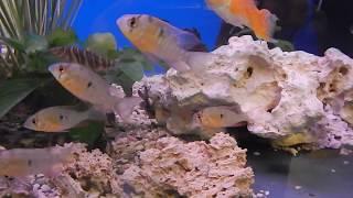 цены на аквариумных рыбок, Апистограмма боливийская бабочка, Mikrogeophagus altispinosus