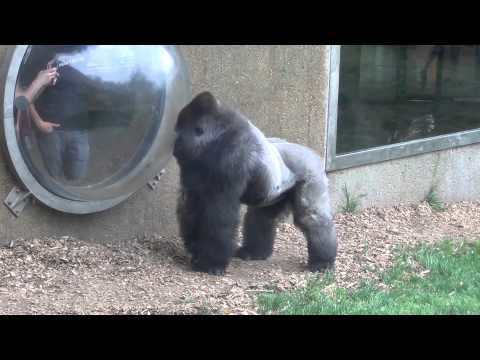 Gorilla hits glass at Henry Doorly Zoo