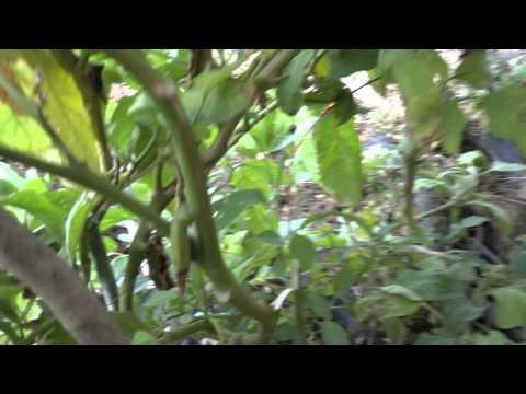 Come preparare l 39 orto le melanzane innestate youtube for Melanzane innestate