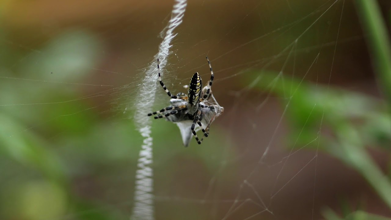 Black and Yellow Garden Spider - YouTube
