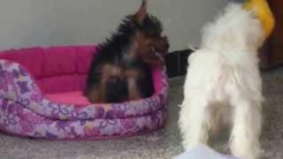 Divertidas Perritas Poodle Mini Toy Y Yorkshire Terrier Jugando Con  Winniepooh!   :)