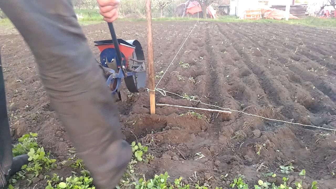 как сеять свеклу кормовую