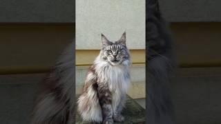 Самая лучшая кошка  мейн кун на свете !!! и самая любимая!!!