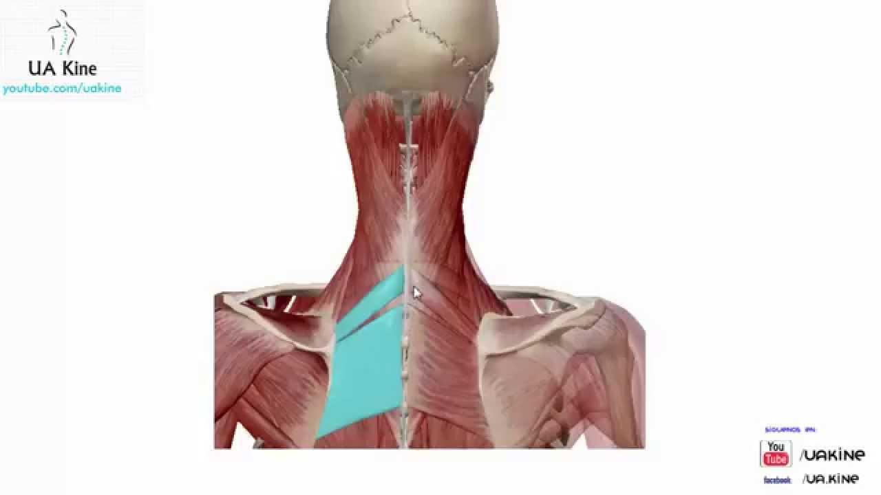 Anatomia Musculos Dorsales del Tronco - YouTube