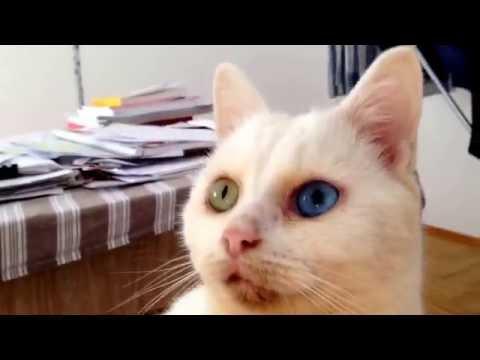 Turkish angora mix eyes