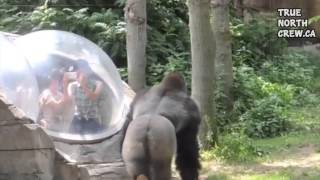 Gorilla Thug Life(Visit Us: http://www.truenorthcrew.ca Thug Life Shirts: http://www.truenorthcrew.ca/products/thug-life-tree Subscribe and we'll make more :) Thug Life Gorilla ..., 2015-01-16T01:59:58.000Z)
