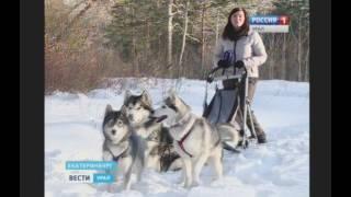 Северные ездовые собаки в Екатеринбурге «Вести-Урал»