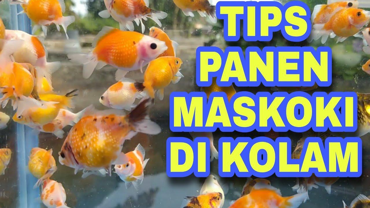 Cara Budidaya Ikan Maskoki Memanen Ikan Maskoki Mutiara Youtube