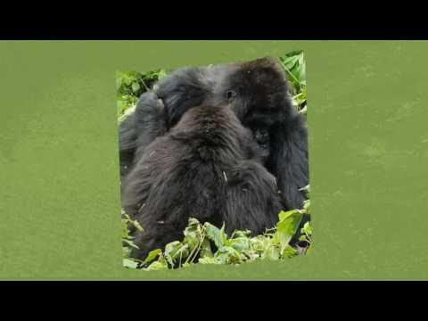 Our great gorilla trek in Rwanda East Africa October 2016