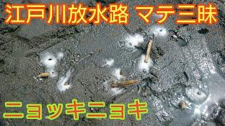 江戸川放水路 湾岸線付近でマテ貝の潮干狩りになります。いっぱいいます...