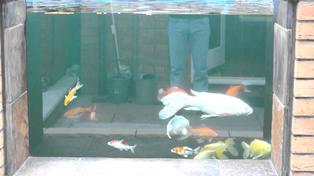 Koi pond with window youtube for Koi pond window