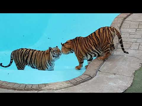Tigers in a newly fixed empty pool !