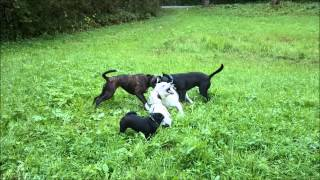White Shepherd Playing With German Boxer, Staffordshire-mix, Pug And French Bulldog