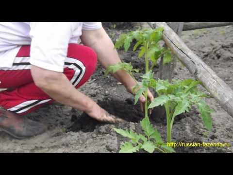 Когда и как высаживать томаты в открытый грунт. | высаживать | посадить | помидоры | открытый | рассаду | рассада | помидор | томаты | сеять | когда