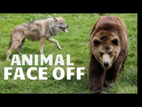 Documentary : Grizzly Bears Vs Wolves Documentary In Yellowstone Park
