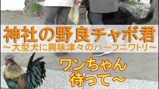 2019年1月2日。 近所の神社にニワトリ目当ての初詣に行きました。 足指...