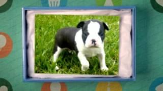 Potty Training Boston Terrier