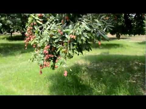 Lichee Garden