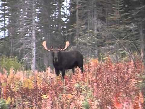 Moose Hunting Techniques
