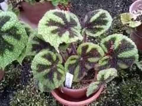 根茎性ベゴニア レックスベゴニア アイアンクロス