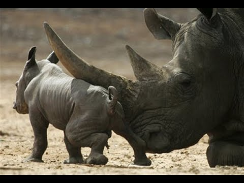 Rhino Rampage - Hunter Hunted: NatGeo Wild HD2017