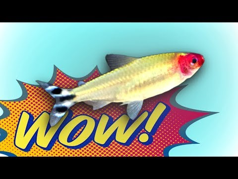 Best Schooling Aquarium Fish Added! 250 Rummy Nose Tetras!
