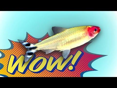 Best Schooling Aquarium Fish Added! 250 Rummy Nose Tetras!
