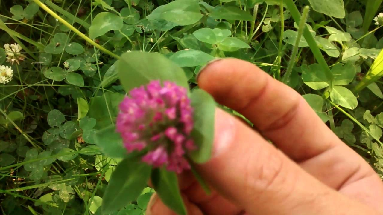 Purple Clover Flower Another Eatable Plant Great Depression Foods