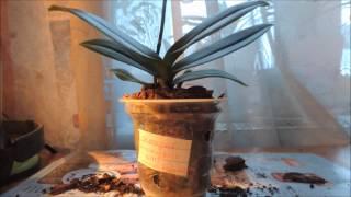 Как пересадить орхидею фаленопсис мини(В этом видео подробно показано как пересадить орхидею фаленопсис мини., 2014-12-15T13:45:50.000Z)