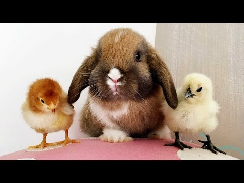 Bunny And Chick Are Best Of Friends