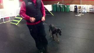 Belle Duffy, Catahoula Leopard Puppy, Dog Training Charlotte North Carolina
