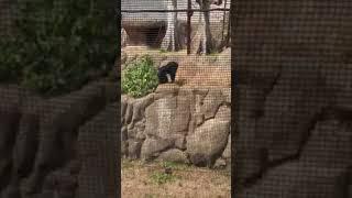 チンパンジーが物を投げてくる瞬間を捉えました!