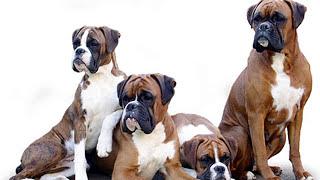 P de perros Boxer Mascota o Asesino