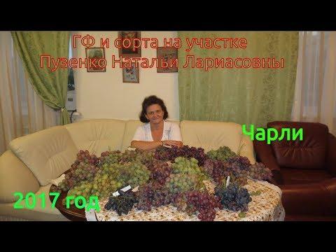 Ранний сорт винограда Чарли (Пузенко Наталья Лариасовна)