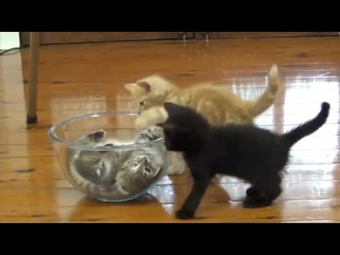 funny cat videos   baby kittens in a glass bowl