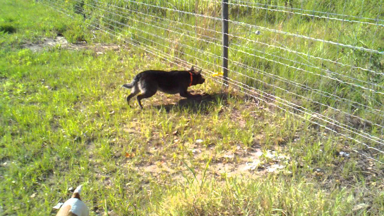 Our Dog Pepper Eating The Electric Fence Mp4 Youtube