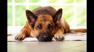 My German Shepherd dose WHAT after I faint?!?