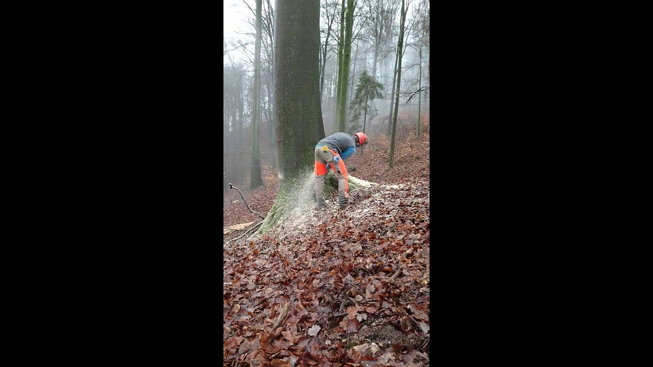 abattage arbre hetre
