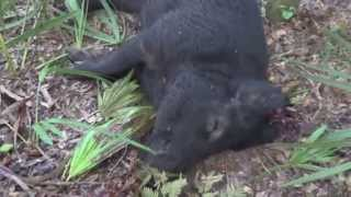 Hmong Florida Hog Hunting