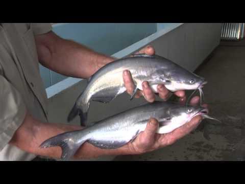 Hybrid Catfish