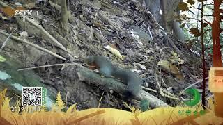 《秘境之眼》 黄足松鼠 20201121| CCTV - YouTube