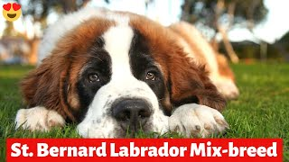 What's Saint Bernard Labrador MixBreed's Personality and Temperament like?