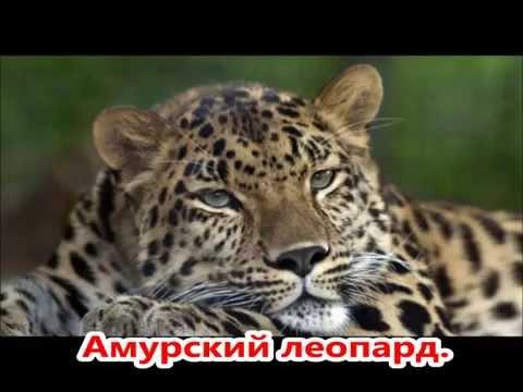 10 редких животных России. Презентация. 4 класс.