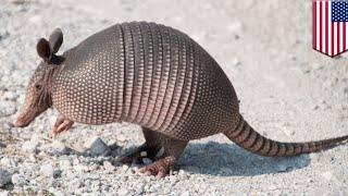 Bulletproof armadillo: Man gets ricocheting bullet to the face after shooting armadillo - TomoNews