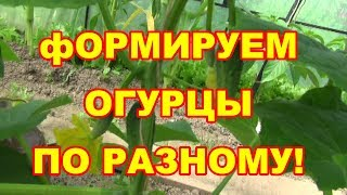 Внимание! Формируем огурцы пчелоопыляемые и партенокорпические по разному