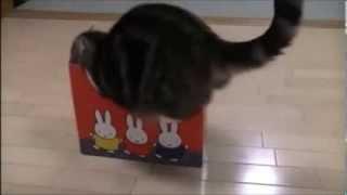 Conheça Maru, o divertido gato celebridade do Japão!