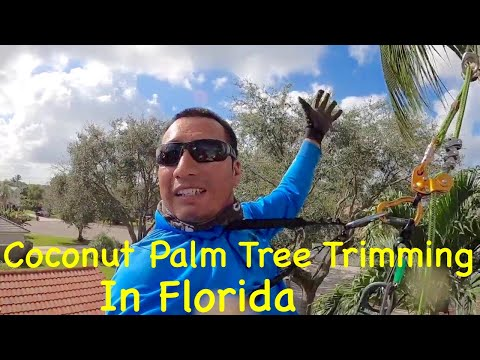 Coconut Palm Tree Trimming in Florida 🟢
