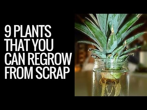 Regrowing plants | 9 plants that you can regrow from kitchen scraps